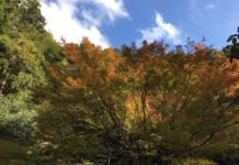 黄色く色づき始めました 11月初旬の箕面