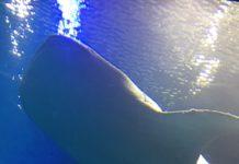 海遊館のジンベイザメを間近に見る