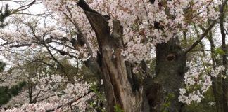 桜 雨のあと