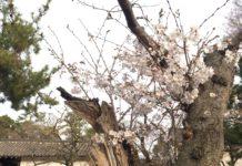 緑地公園 桜2