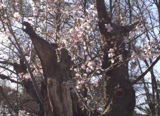 緑地公園の桜